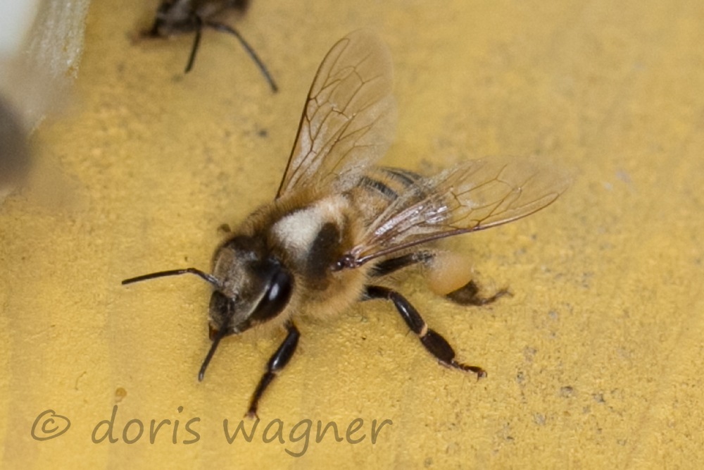 Biene nach Springkraut