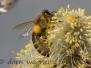 Bienen auf der Weidenblüte