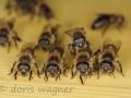 Bienen_2