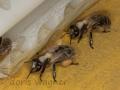 Bienen nach Springkraut_2