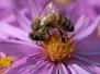 Bienen unterwegs