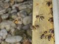 Biene gelber Pollen