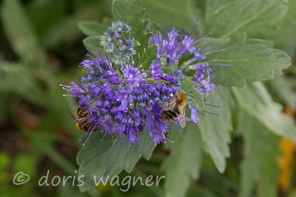 Bartblume mit Honigbiene