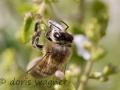 Biene auf Bergminze