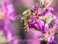 Blutweiderich mit Biene