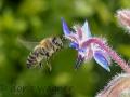 Borretsch-mit-Biene_IMG_8115-1000