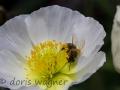 Islandmohn mit Biene