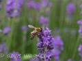 Biene auf Lavendel