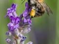 Wildbiene auf Lavendel