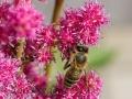 Prachtspiere mit Honigbiene