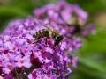 Buddleja mit Biene