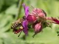 Biene auf Storchschnabel