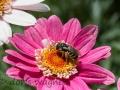 Wildbiene auf Strauchmargerite