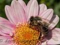Biene auf Strauchmargerite