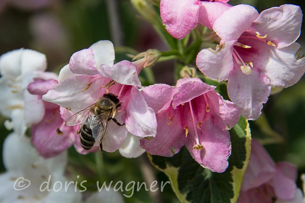 Weigelia mit Biene