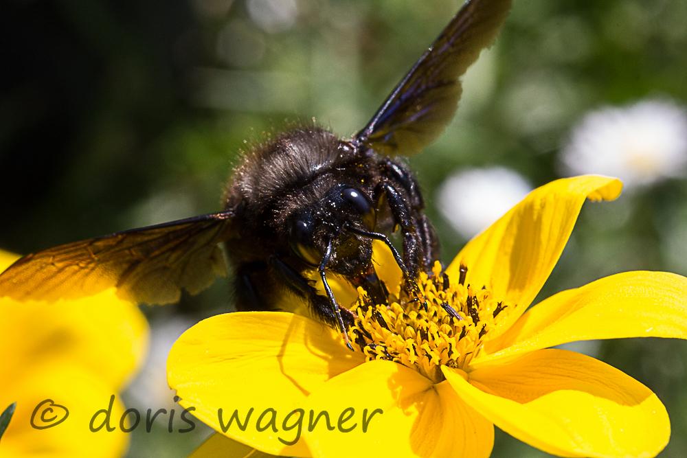 Holzbiene auf Zweizahn