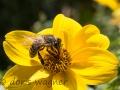Biene auf Zweizahn