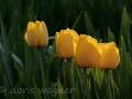Tulpen zwischen Lilienblättern