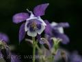 Akelei violett-weiss