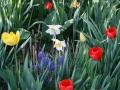 Tulpen_2