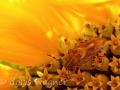 Sonnenblume_11