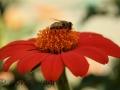 Mexikanische Sonnenblume_1
