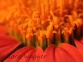 Mexikanische Sonnenblume_3
