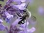 Wildbienen und Hummeln
