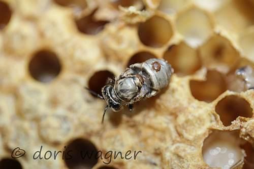 Verkrueppelte Biene mit Varroa_500
